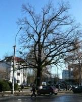 Csoda Szolyván – Kizöldült egy kiszáradt fa!