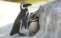 Isten teremtési rendjét nem lehet felülírni – Szakított egymással a meleg pingvin pár